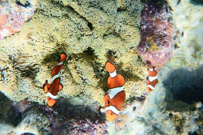 Poissons sur les coraux image stock