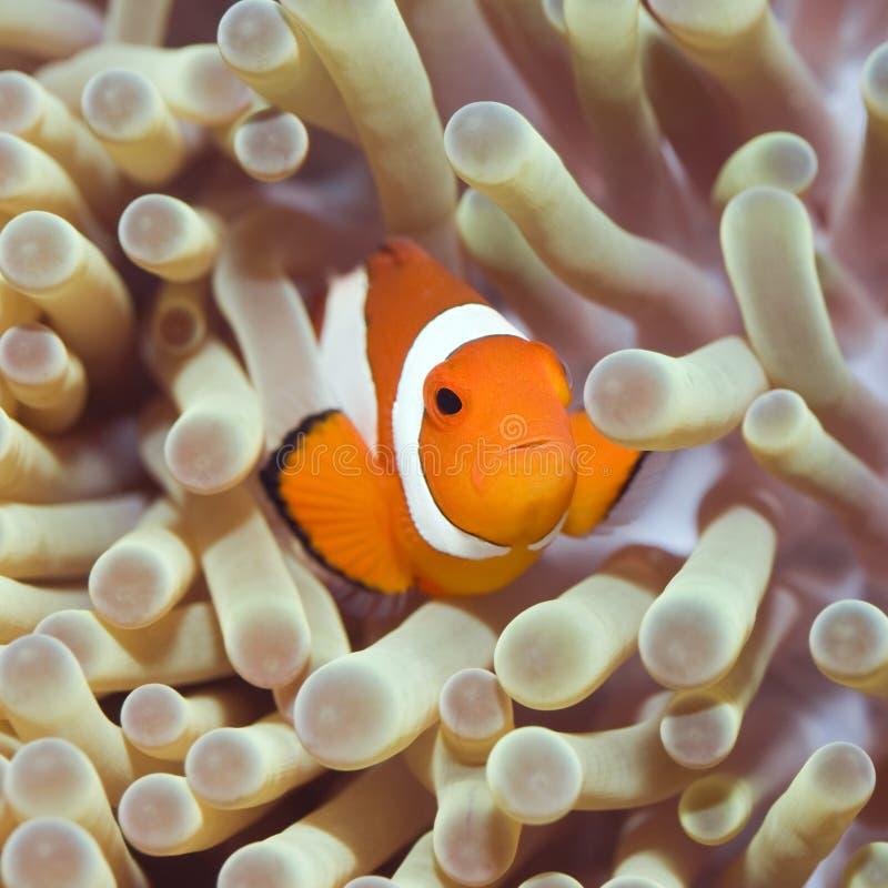 Poissons tropicaux Clownfish images libres de droits
