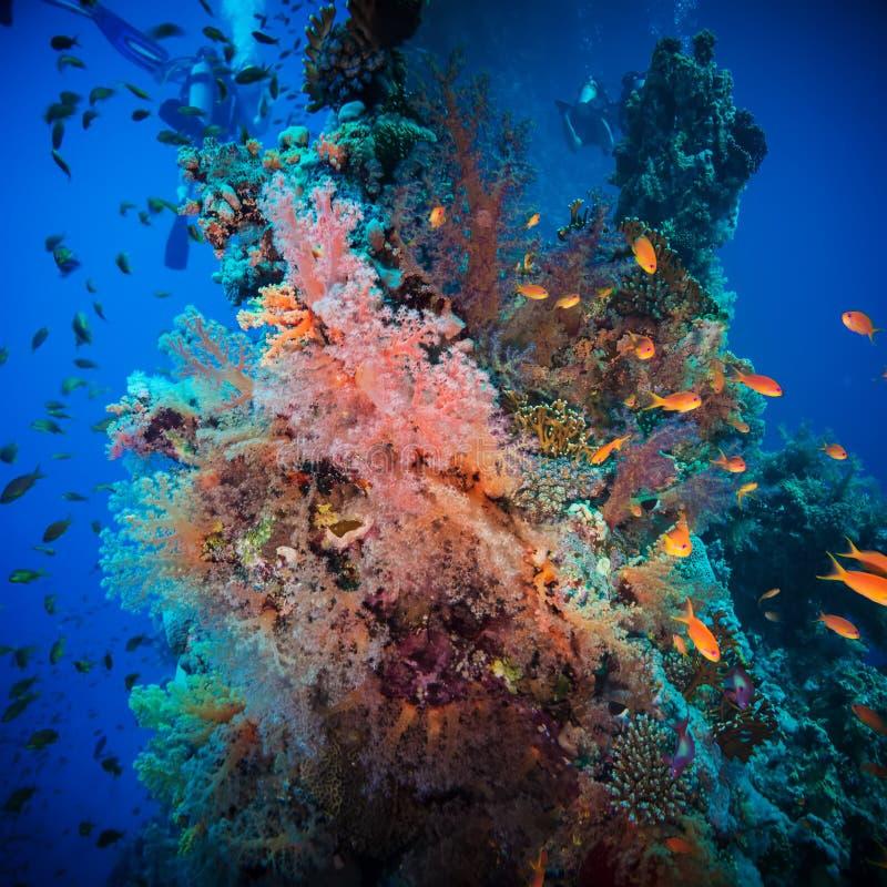 Poissons tropicaux d'Anthias avec les coraux nets du feu images stock