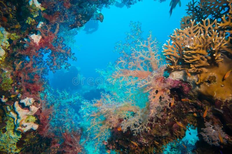 Poissons tropicaux d'Anthias avec les coraux nets du feu photos stock