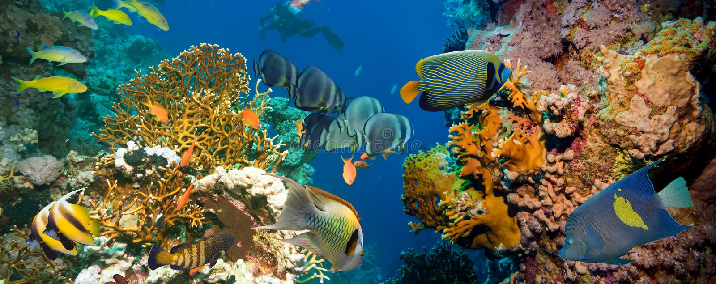 Poissons tropicaux d'Anthias avec les coraux nets du feu images libres de droits