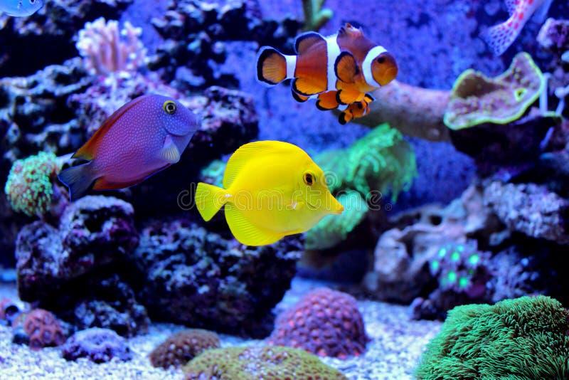 Poissons tropicaux dans le réservoir marin d'aquarium image libre de droits