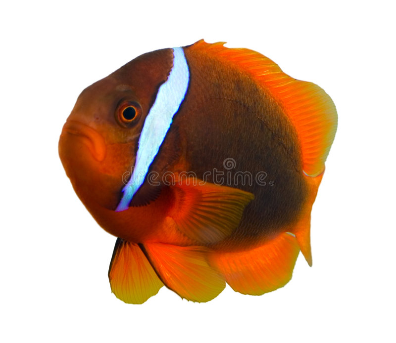 Poissons Tropicaux De Clown Images stock