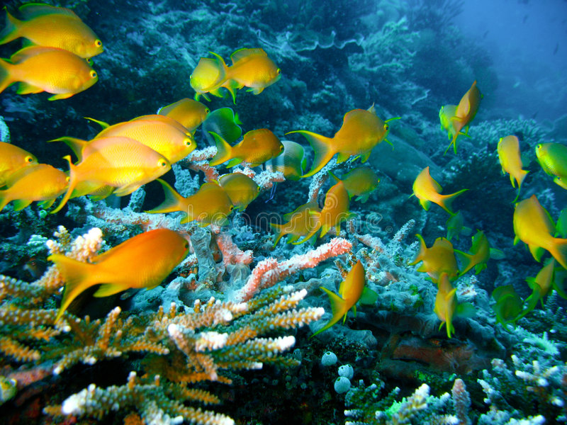 Poissons tropicaux de récif coralien photo libre de droits