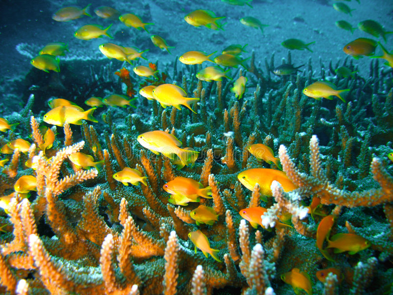 Poissons Tropicaux De Récif Coralien Image libre de droits
