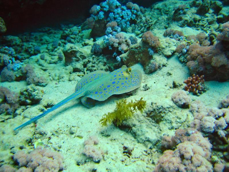 Poissons tropicaux de whiprays de pastenagues de roundrays de patin sur les récifs coraliens photos stock