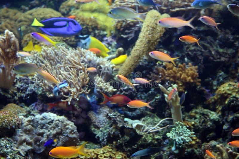 Poissons tropicaux sur le récif coralien photo stock