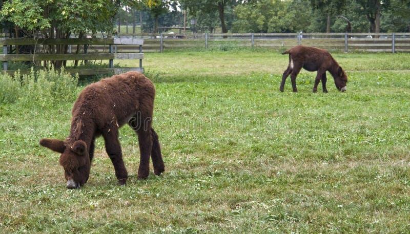 二头poitou驴在提供在一个农场在南德国