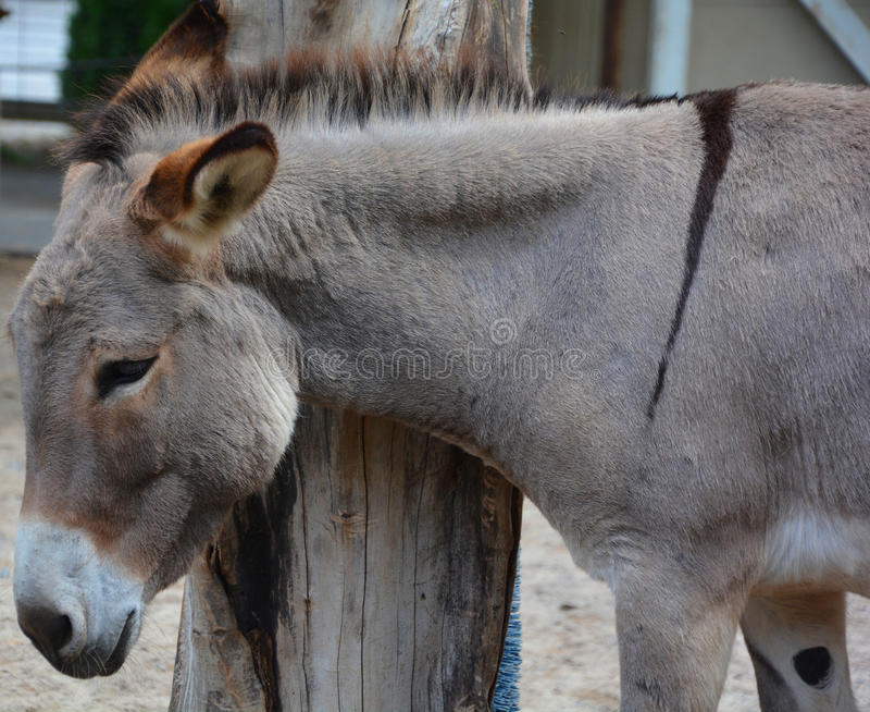 poitou驴或poitou驴子法语:baudet du poitou,也告诉poitevin驴,是