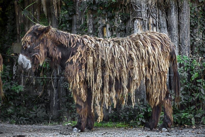 在篱芭附近的poitou的驴在它的封入物