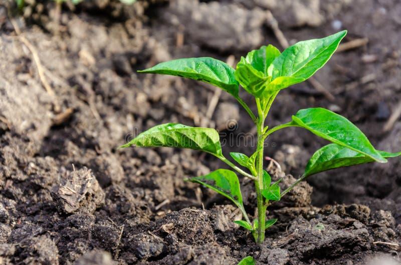 Poivre de jeune plante de l'élevage amer amer dans la terre ou la serre chaude ouverte photos libres de droits