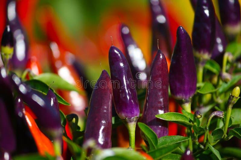 Poivre de piments image stock