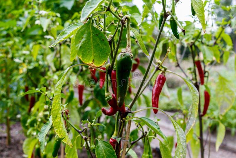 Poivre ornemental mignon rouge et vert dans le potager (Capsic photo stock