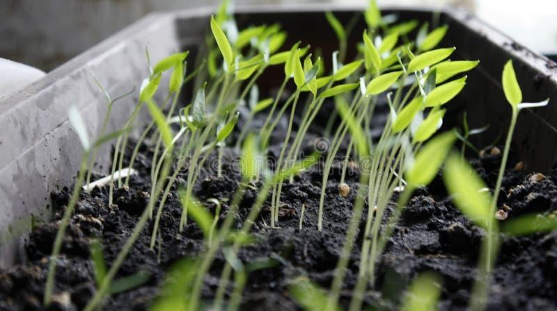 Poivrez les jeunes plantes, jeune feuillage de poivre, jeunes plantes de ressort Poivre de pousses photo stock