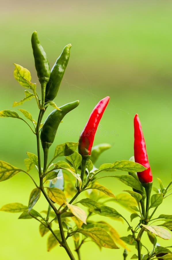 /poivron rouge et vert photographie stock libre de droits