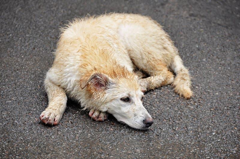 Pojęcie bezdomni zwierzęta schronienie lub weterynaryjna klinika, - zaniechany choroba pies jak labradora lying on the beach na obrazy royalty free