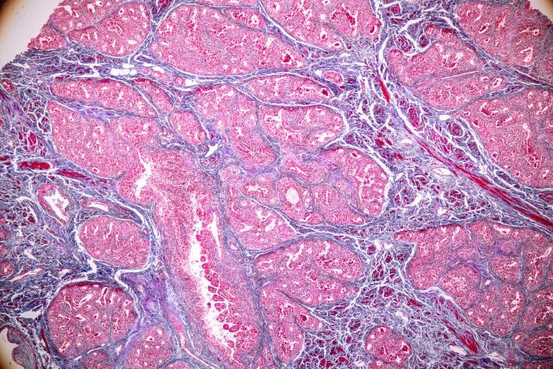 Pojęcie edukacji anatomia i fizjologia mammary gruczoł jest exocrine gruczołem w ssakach pod mikroskopijnym obraz stock