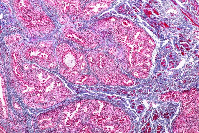 Pojęcie edukacji anatomia i fizjologia mammary gruczoł jest exocrine gruczołem w ssakach pod mikroskopijnym obrazy stock