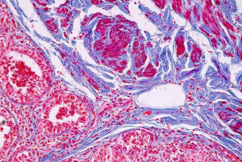 Pojęcie edukacji anatomia i fizjologia mammary gruczoł jest exocrine gruczołem w ssakach pod mikroskopijnym zdjęcie stock