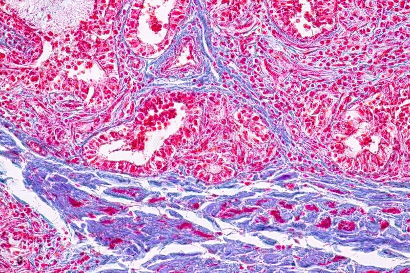 Pojęcie edukacji anatomia i fizjologia mammary gruczoł jest exocrine gruczołem w ssakach pod mikroskopijnym fotografia stock