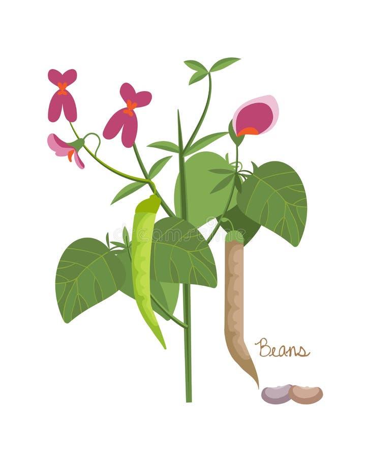 Pojęcie legumes rośliny z liśćmi, ziarna Typ fasole royalty ilustracja