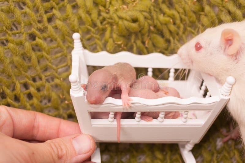 Pojęcie matkowanie Szczur ogląda jego lisiątka zdjęcie stock