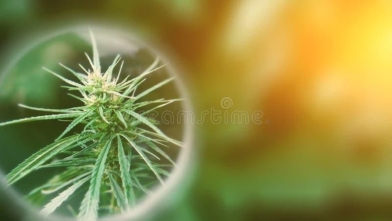 Pojęcie studiować skutek CBD olej na istoty ludzkiej i zwierzęcia domowego zdrowie zwierząt Narastający marihuany odgórnej ilości zdjęcia stock