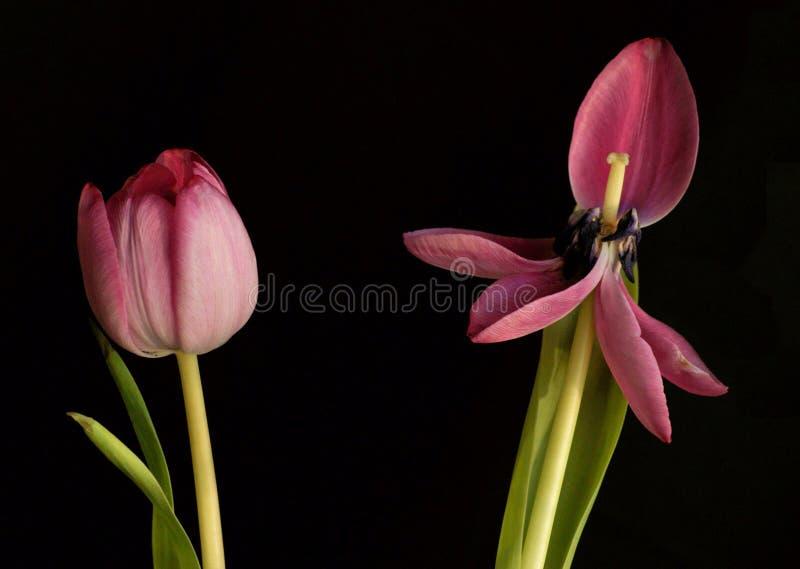 pojęcie tulipan obrazy stock