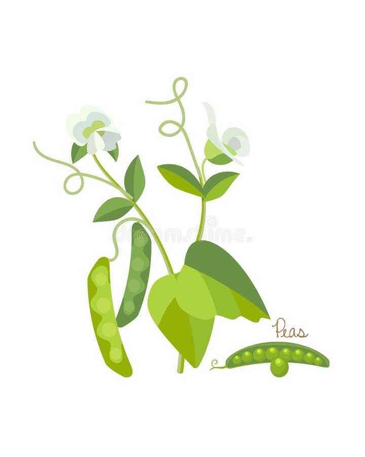 Pojęcie zboża i legumes Świezi ogrodowi zieleni grochy ilustracja wektor