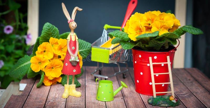Poj?cie ogrodnictwo wiosna, lato, harmonia i pi?kno i, Kwiatu Primula kolor ? zdjęcia royalty free