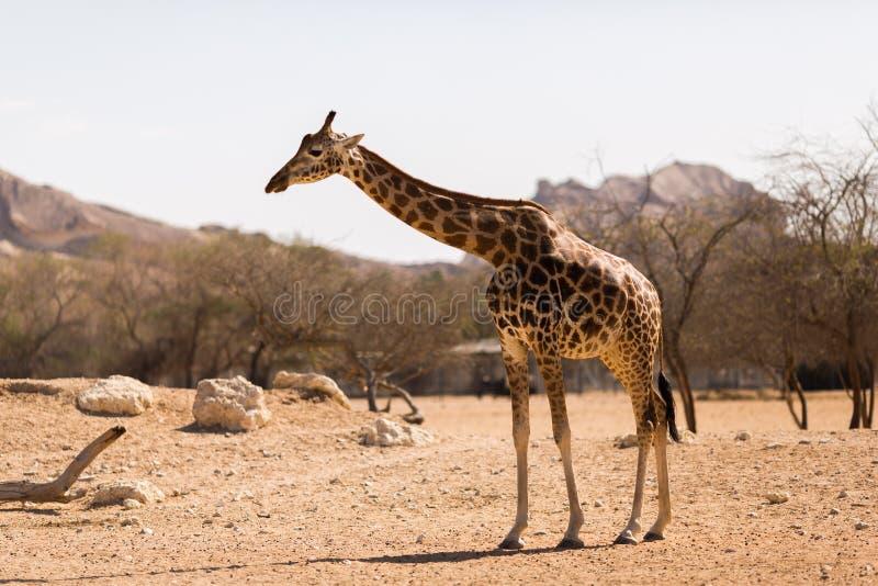 Pojedyncza żyrafa na sawannie w parku narodowym obraz royalty free