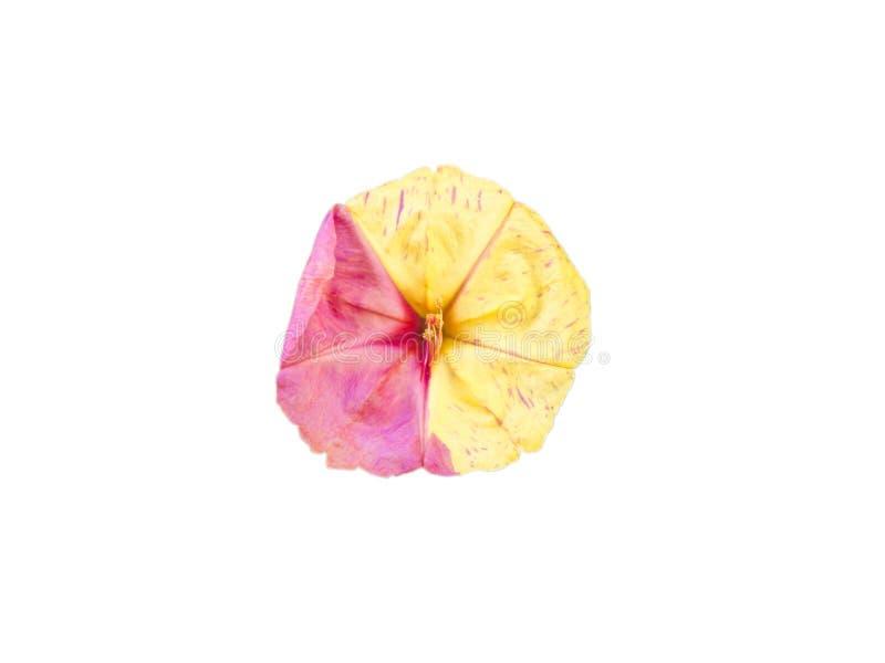 Pojedyncza bindweed czerwień i żółta kwitnie kwiat głowa odizolowywający na bielu obrazy stock