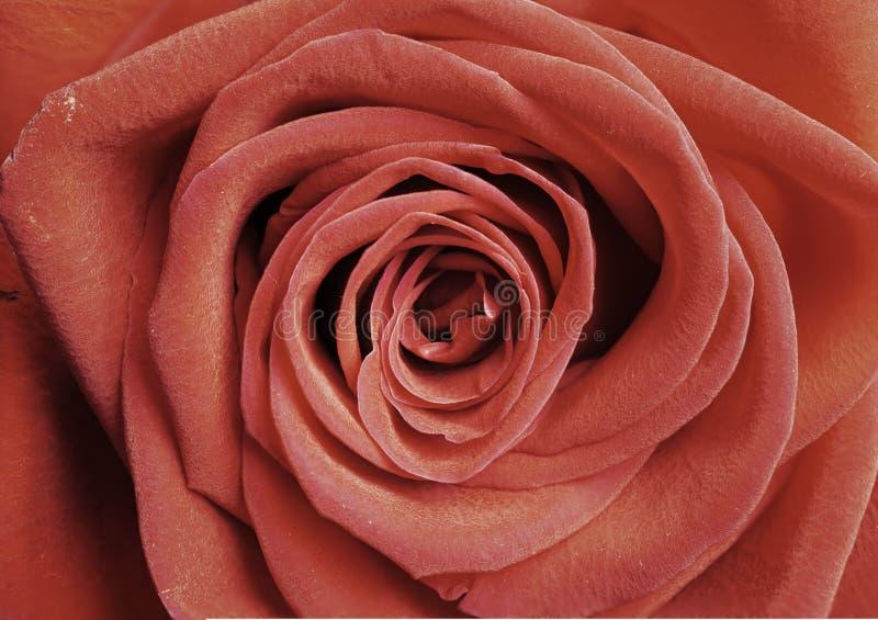 Pojedyncza czerwieni róża jako tło, zbliżenie strzał, horyzontalna uprawa zdjęcie stock
