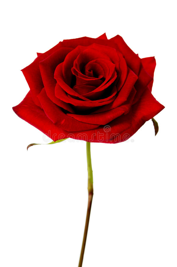 Pojedyncza czerwieni róża odizolowywająca na białym tle fotografia royalty free