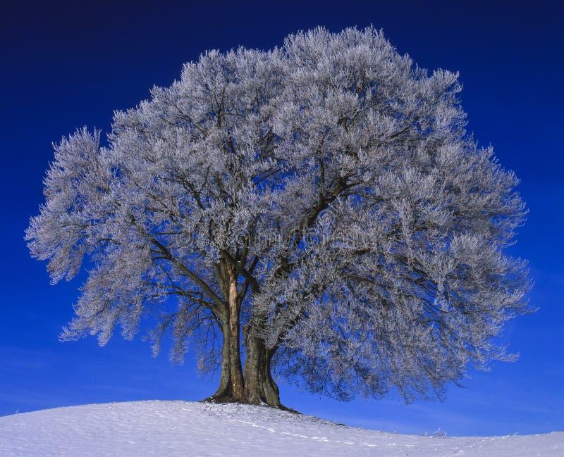 pojedyncza drzewna zimy obraz stock