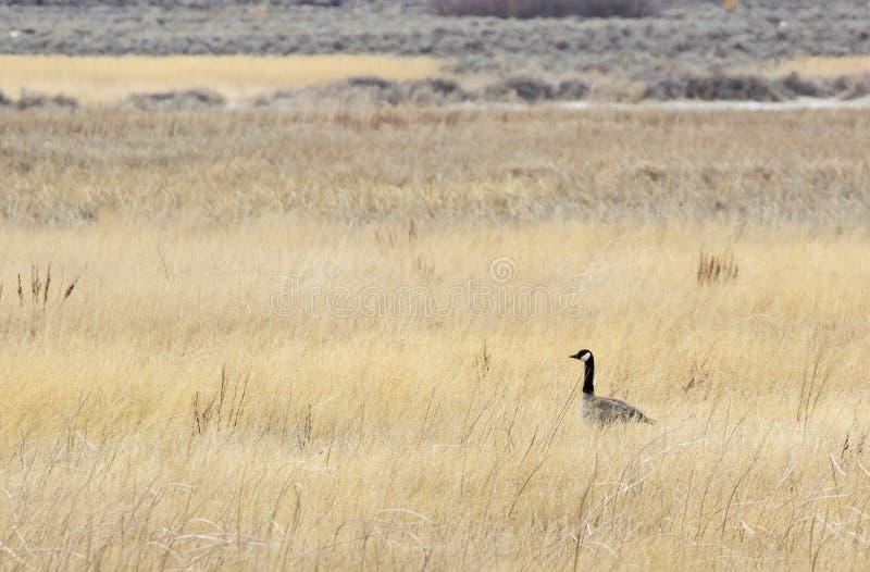Pojedyncza Kanada gąska w Wysokim trawy polu zdjęcia royalty free