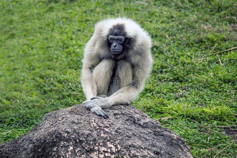 Pojedyncza kobieta Pileated Gibbon przy Gladys furtianu zoo fotografia stock