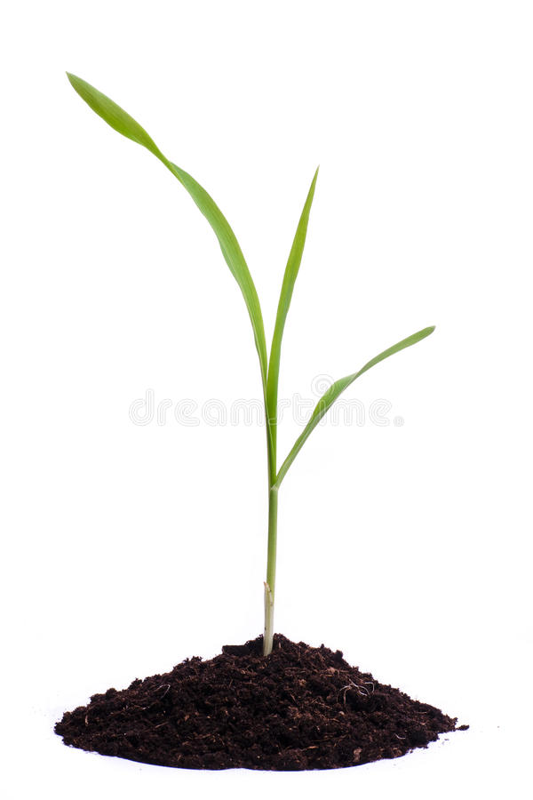pojedyncza kukurudzy flanca zdjęcie royalty free