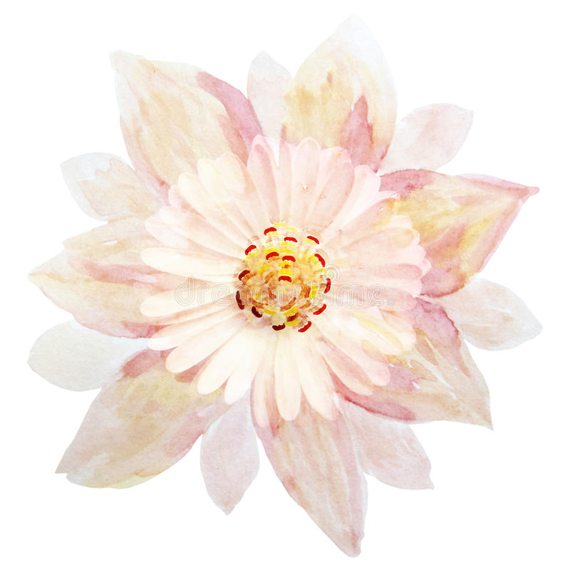 Pojedyncza menchia kwitnie na białym tle, handmade akwarela ilustracja wektor