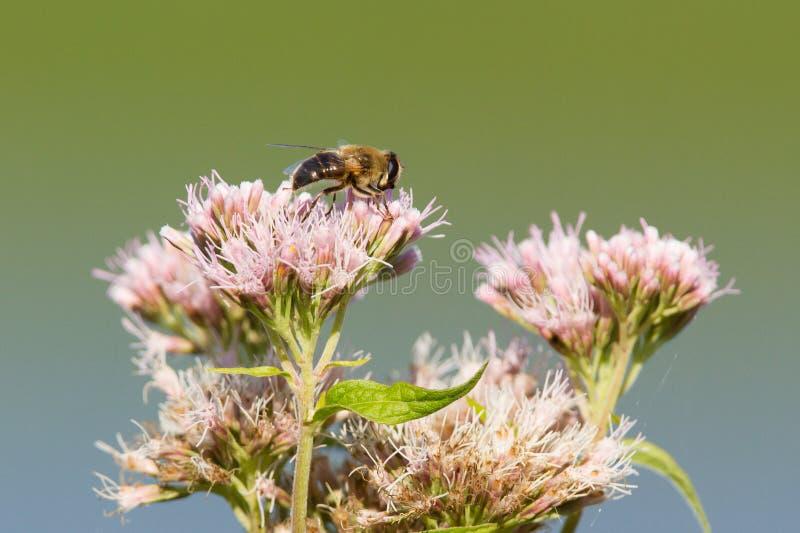 Pojedyncza pszczoła odizolowywająca na różowym kwiacie obraz stock