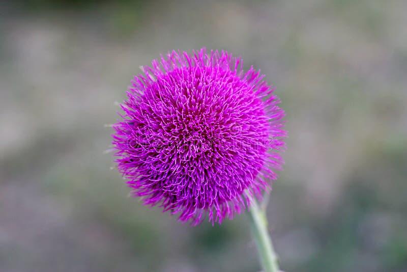 Pojedyncza purpurowa kwiat głowa fotografia royalty free