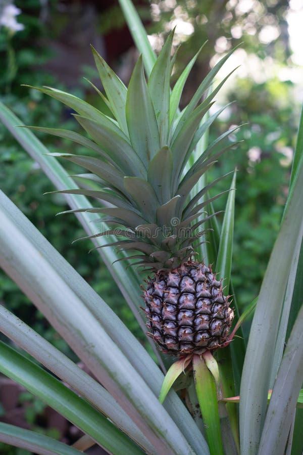 Pojedyncza s?odka ananasowa ro?lina przy fruiting scen? zdjęcie royalty free