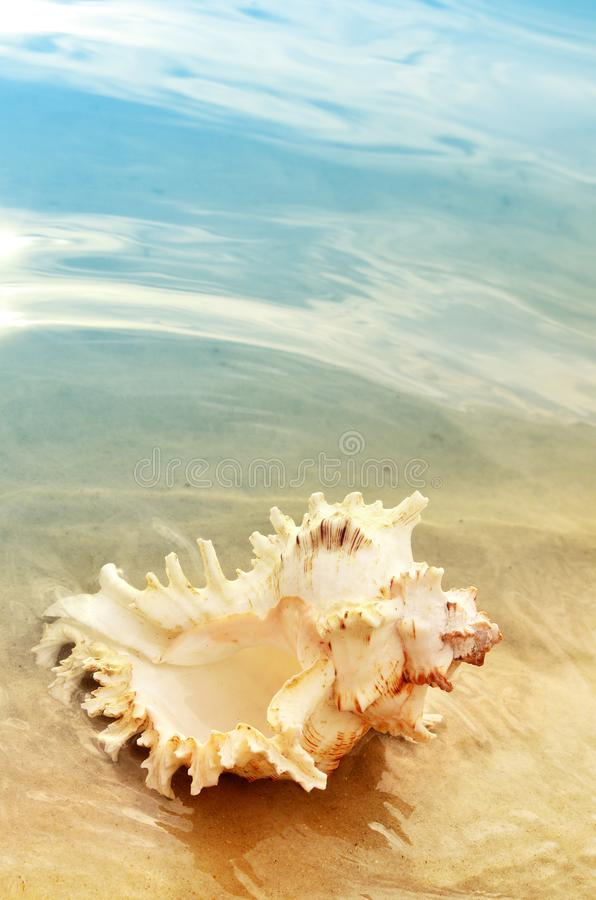 Pojedyncza skorupa na plaży, seashell na piasku zdjęcie stock