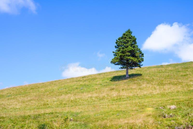 Pojedyncza sosna w górach na horyzoncie obrazy stock