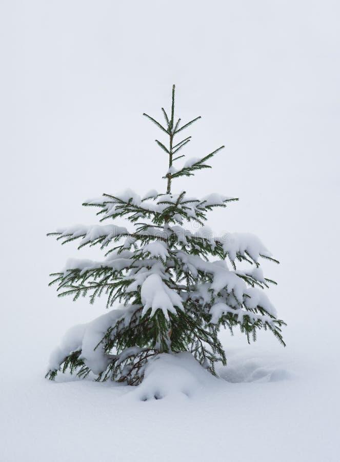 Pojedyncza sosna zakrywająca z śniegiem fotografia royalty free