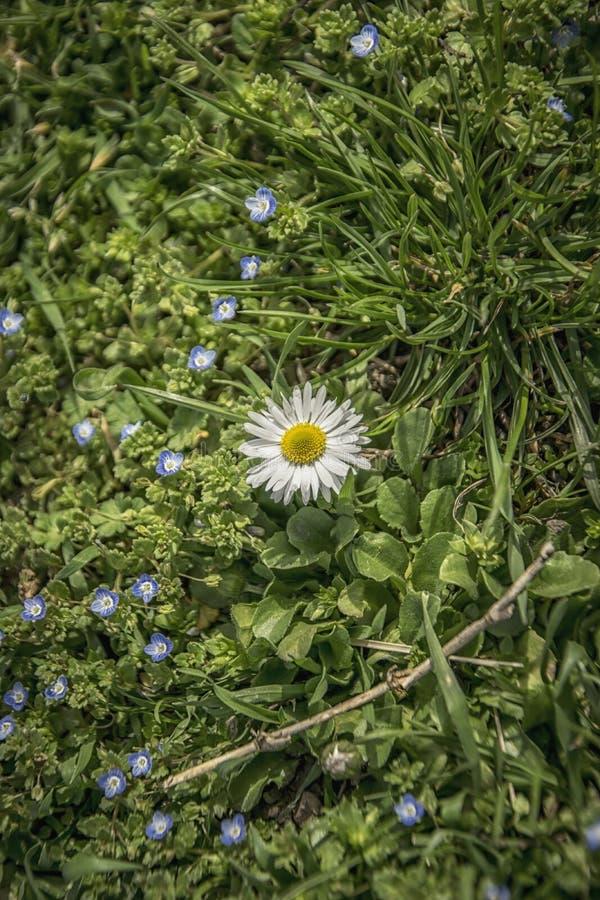 Pojedyncza stokrotka w trawie fotografia stock