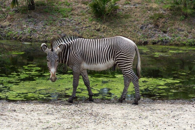 Pojedyncza zebry Equus kwaga przy waterhole zdjęcie royalty free