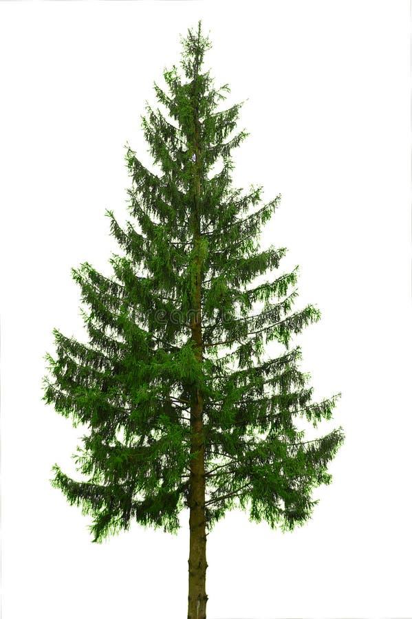 pojedyncze drzewo obraz royalty free