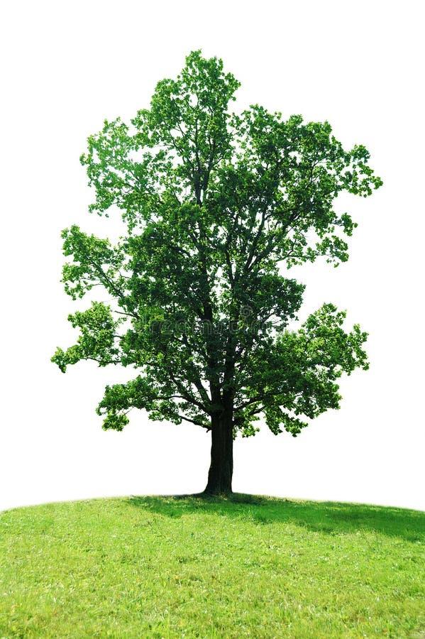 pojedyncze drzewo zdjęcie stock