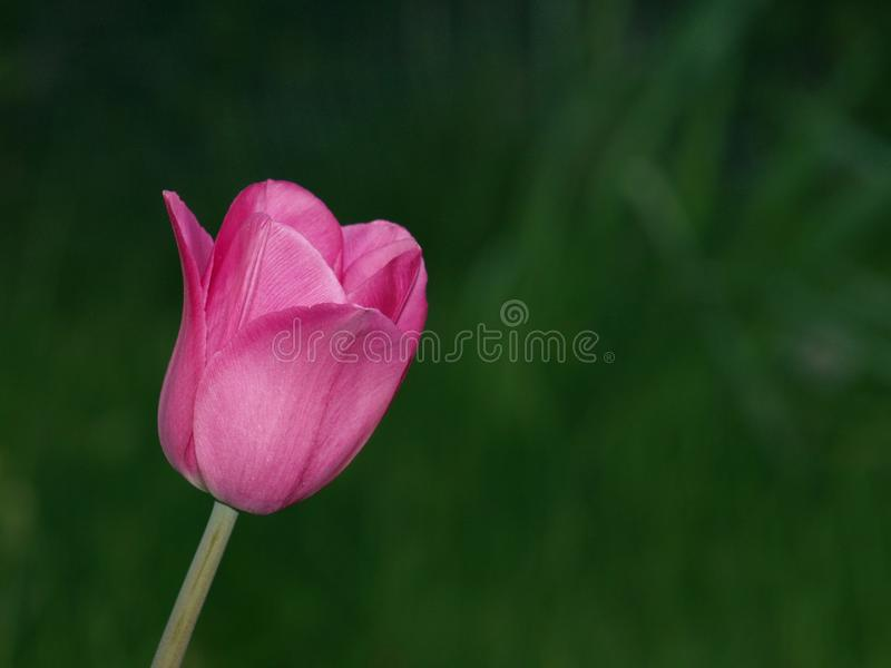 pojedyncze tulipanu purpurowy zdjęcia stock
